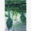 供应观赏葫芦种子