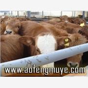 供应养牛技术资料江苏肉牛饲养江西养牛