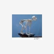 上海动物骨骼标本制作 动物骨骼标本制作公司 动物标本制作