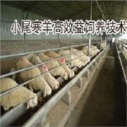 圈养小尾寒羊效益与成本