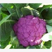 供应紫色花菜种子