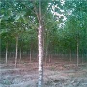 5公分 10公分 20公分国槐小苗-山东四季苗木国槐种植基地