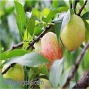 丰光油桃 油桃基地 各种油桃寻求代销・