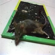 甘肃灭鼠快找兰州康民 最优质的服务 最先进的技术