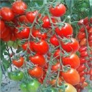荷兰-番茄种子