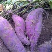 泰安【紫薯】/青岛紫薯专业供应,价格优惠