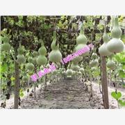 供应天然葫芦TR308纯天然葫芦厂家直销