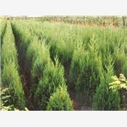 供应潢川苗木冠径15-300公分红瑞木,河南桧柏,罗汉松,铅笔柏
